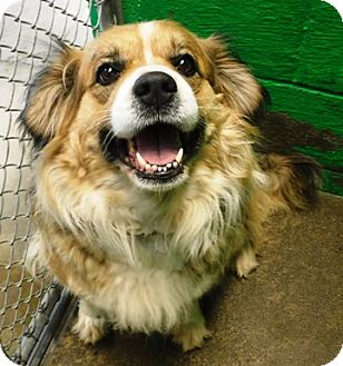 Beagle/Australian Shepherd Mix Dog for adoption in Redding, California - Sophie