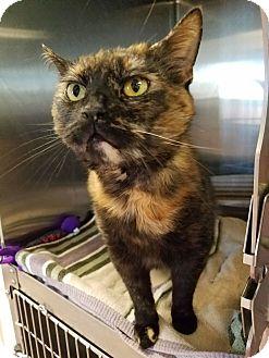 Domestic Shorthair Cat for adoption in Chambersburg, Pennsylvania - Omlette