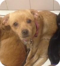 Italian Greyhound/Labrador Retriever Mix Puppy for adoption in Oak Ridge, New Jersey - Jelly Bean