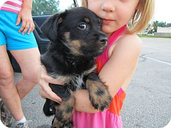 Yorkie, Yorkshire Terrier/Poodle (Miniature) Mix Puppy for adoption in Glastonbury, Connecticut - Gezane-ADOPTED!!
