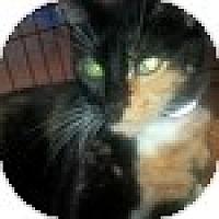 Adopt A Pet :: Callie - Vancouver, BC