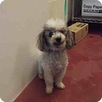 Adopt A Pet :: Jed - Tiny Poodle Man! - Quentin, PA
