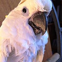 Adopt A Pet :: Kojak - Lenexa, KS