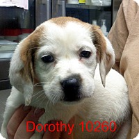 Adopt A Pet :: Dorothy - Greencastle, NC