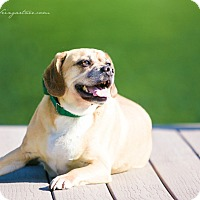 Adopt A Pet :: Marley - Youngstown, OH