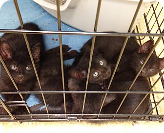 Domestic Shorthair Kitten for adoption in Dallas, Texas - Mee Mee