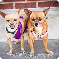 Chihuahua Mix Dog for adoption in Dallas, Texas - Khloe and Niyah