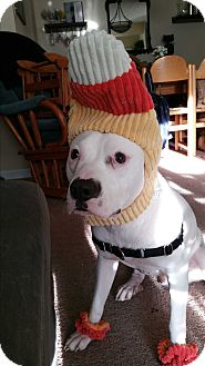 American Staffordshire Terrier/Labrador Retriever Mix Dog for adoption in Exton, Pennsylvania - Tank (Foster)