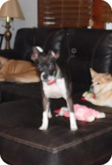 Jack Russell Terrier/Italian Greyhound Mix Dog for adoption in Lebanon, Tennessee - LOLA