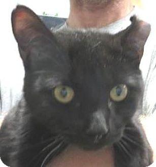 Domestic Shorthair Cat for adoption in Lincolnton, North Carolina - Brody  $20