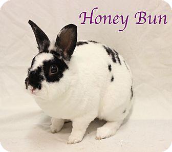 American Mix for adoption in Bradenton, Florida - Honey Bun