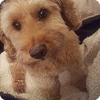 Adopt A Pet :: Teddy - Oakton, VA