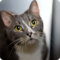 Hemingway/Polydactyl Cat for adoption in East Brunswick, New Jersey - Remi