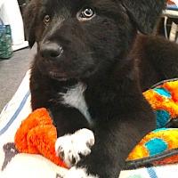 Adopt A Pet :: Benny-MEET & GREET Sat 5/27 - Ada, MN