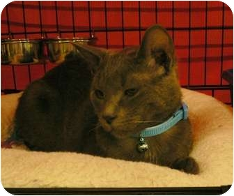 Russian Blue Kitten for adoption in lake elsinore, California - Dusty
