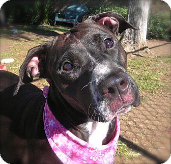 Boxer/Pit Bull Terrier Mix Dog for adoption in El Cajon, California - Susie