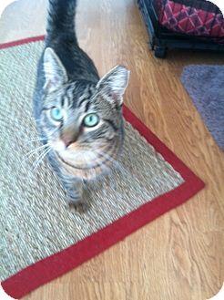 Domestic Shorthair Kitten for adoption in Huntington Station, New York - ANGELO