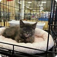 Russian Blue Kitten for adoption in Miami, Florida - Heather