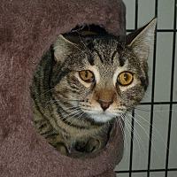 Domestic Shorthair Cat for adoption in Carmel, New York - Saki
