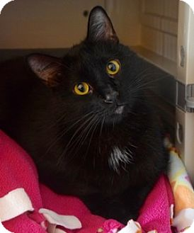 Domestic Shorthair Cat for adoption in Des Moines, Iowa - Zen