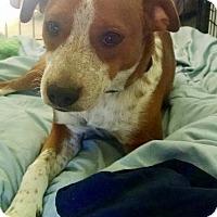 English Springer Spaniel/Boxer Mix Puppy for adoption in HARRISBURG, Pennsylvania - SCOUT