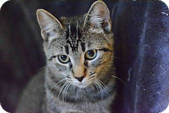Domestic Shorthair Cat for adoption in West Palm Beach, Florida - Aurora Peppermint