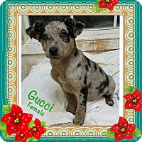 Adopt A Pet :: Gucci pending adoption - Manchester, CT