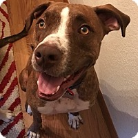 Adopt A Pet :: Brody - Fort Collins, CO
