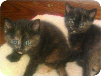 Domestic Shorthair Kitten for adoption in Quincy, Massachusetts - The Tortie Sisters