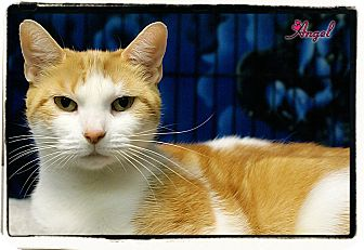 Domestic Shorthair Cat for adoption in Elmwood Park, New Jersey - Angel