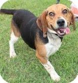Beagle Dog for adoption in Brattleboro, Vermont - Barney
