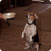 Adopt A Pet :: Smiley - Phoenix, AZ