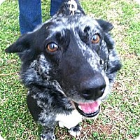 Adopt A Pet :: Thor - Murfreesboro, TN