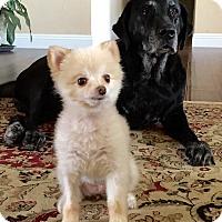 Adopt A Pet :: Foxy - calimesa, CA