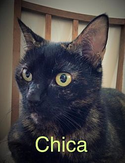 Domestic Mediumhair Cat for adoption in Huguenot, New York - Chica