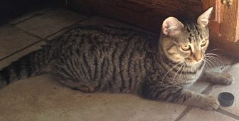 Domestic Shorthair Cat for adoption in Chattanooga, Tennessee - Nala
