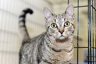 Domestic Shorthair Cat for adoption in Whitehall, Pennsylvania - Snooper