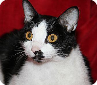 Domestic Shorthair Cat for adoption in Marietta, Ohio - Brian (Neutered/Declawed)-New