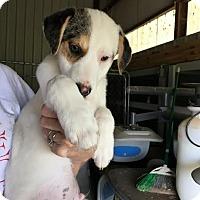 Adopt A Pet :: Tyler meet me 4/7 - Manchester, CT