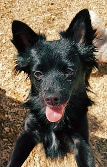 Pomeranian/Chihuahua Mix Dog for adoption in Elizabethtown, Pennsylvania - Simon