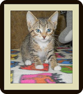 Domestic Shorthair Cat for adoption in Medford, Wisconsin - BANDIT