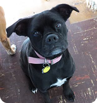 Boxer/Labrador Retriever Mix Dog for adoption in Scottsdale, Arizona - Binti