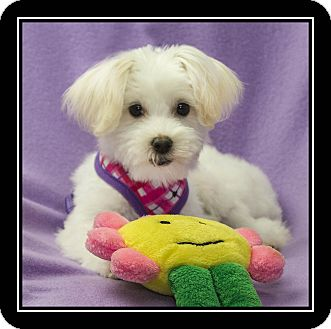 Maltese/Poodle (Miniature) Mix Puppy for adoption in Ft. Bragg, California - Valentina