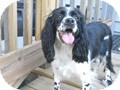 Cocker Spaniel Mix Dog for adoption in Camden, South Carolina - Suzie