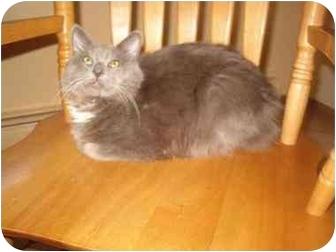 Domestic Mediumhair Kitten for adoption in Bedford, Massachusetts - Franco