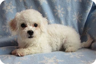 Bichon Frise Puppy for adoption in Barneveld, Wisconsin - Timmy