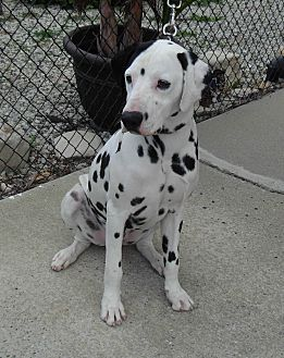 Dalmatian Dog for adoption in Gardena, California - Ricky-seeking sponsors only
