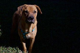 Black Mouth Cur/Labrador Retriever Mix Dog for adoption in Houston, Texas - Kona