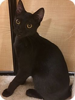 Bombay Kitten for adoption in Houston, Texas - Cody