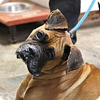Boxer Dog for adoption in Wilmington, North Carolina - Rupert